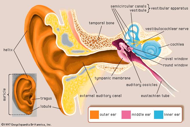 Picture of vestibular system